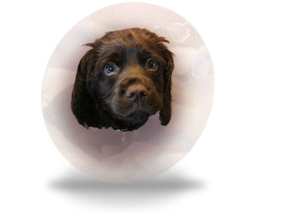 Head of a spaniel wearing a cone