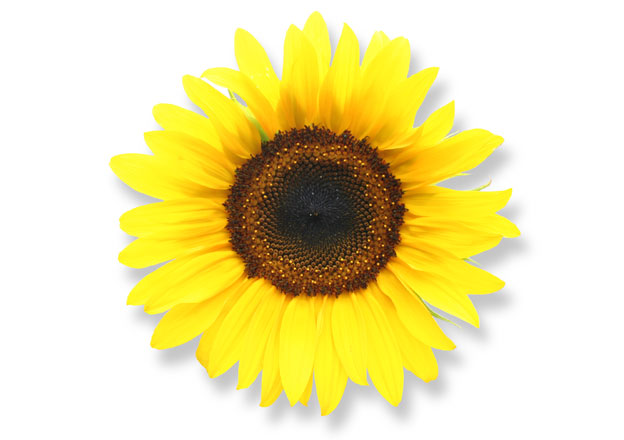 A single sunflower head